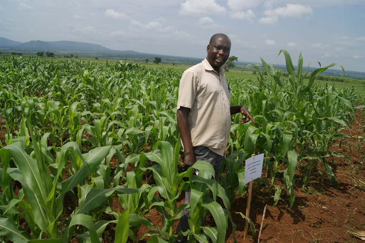 An experiment at the MLN trials site in Mbale in Eastern Uganda
