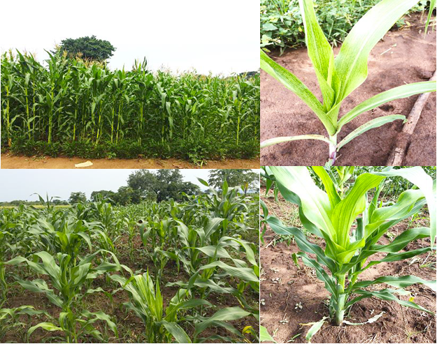 Selected images of symptoms of MLN in some farmer gardens in South Sudan