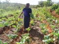 Thanks to water harvesting and management    innovations Margaret is able to harvest vegetables from the same crop for three months