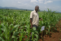 NaCRRI, ASARECA MLND trials in Eastern Uganda