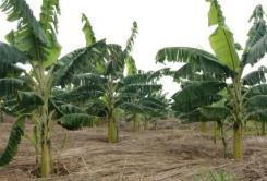 Opening up a global dream for Rwandan rural banana processors.