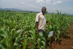 NaCRRI, ASARECA MLND trials in Eastern Uganda